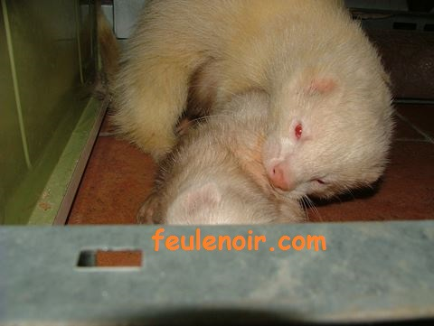 reproduction du furet