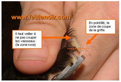 couper les griffes de son furet attention à ne pas sectionner les vaisseaux sanguins