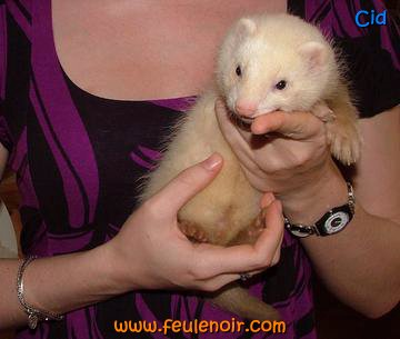 Cid furet champagne 