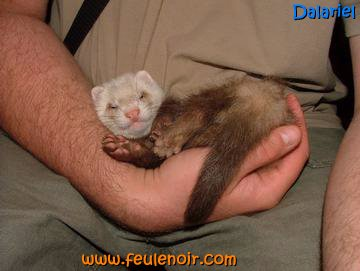 Dalariel furet champagne chocolat