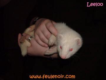 Leeloo furette albinos