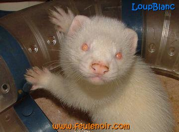 Loupblanc furet albinos