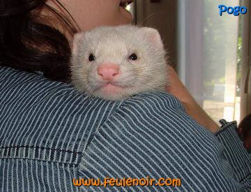 Pogo furet champagne