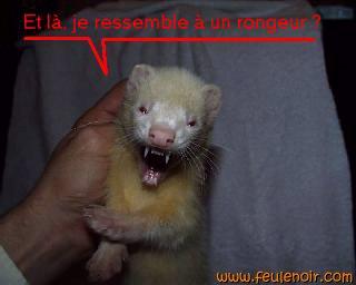 Bienvenue sur feulenoir furet albinos putois vison - Un furet pour deboucher ...