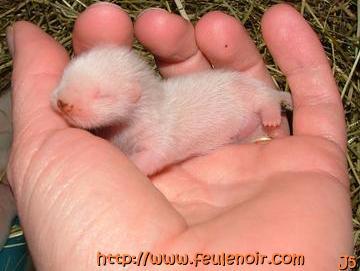 petit male albinos bébé fureton à J5