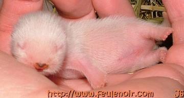 petit male albinos bébé fureton à J6