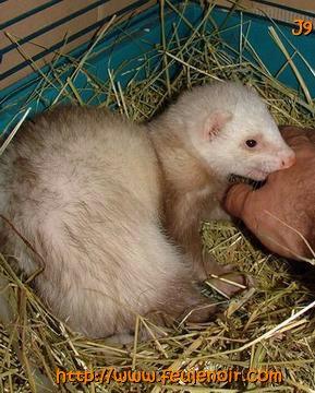 furette prenant la main de son maitre pour l'emporter dans son nid