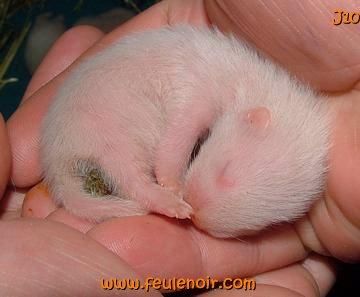 fureton albinos de 10 jours