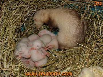 furette avec ses furetons bébés à J22 avec leur maman