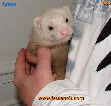 Tyson furet champagne