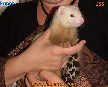 Fripon furet champagne