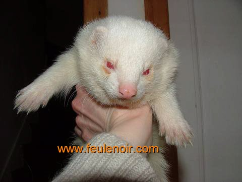 photo de furet albinos